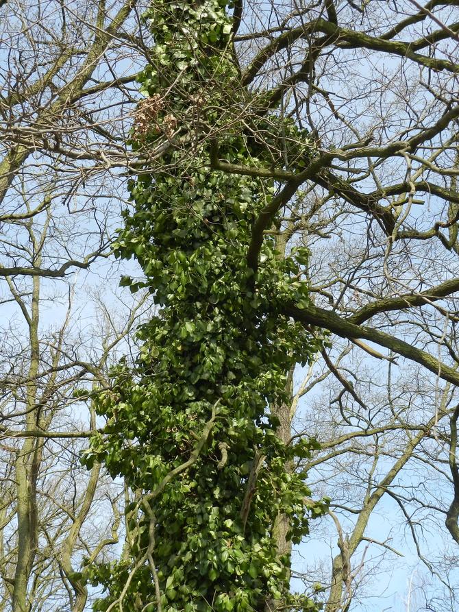 Bluszcz na drzewie