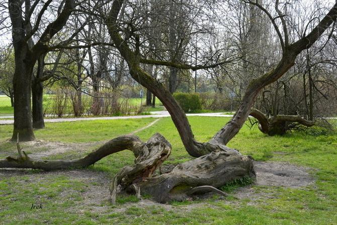 Ciekawe drzewo spotkałem w parku