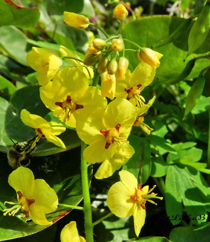 Epimedium  żółte