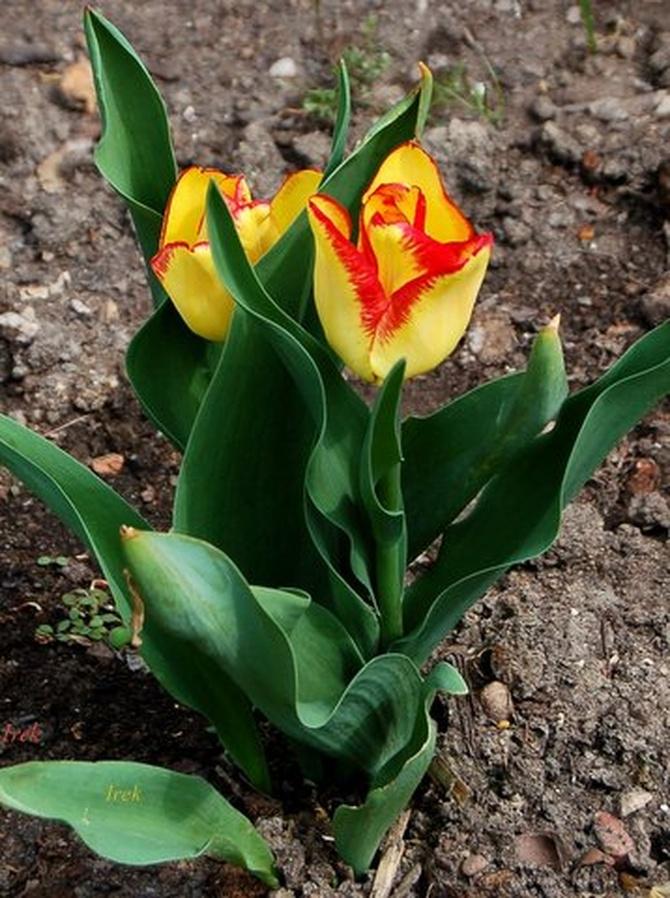 Dwubarwne tulipany