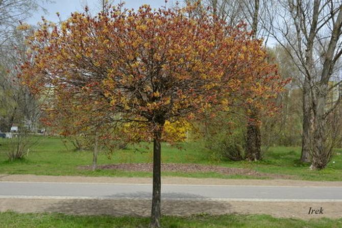 Eleganckie i kwitnące drzewo w parku