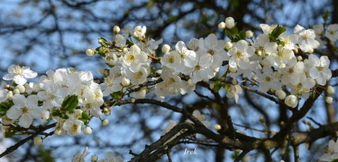 Gałązka kwitnącej mirabeli