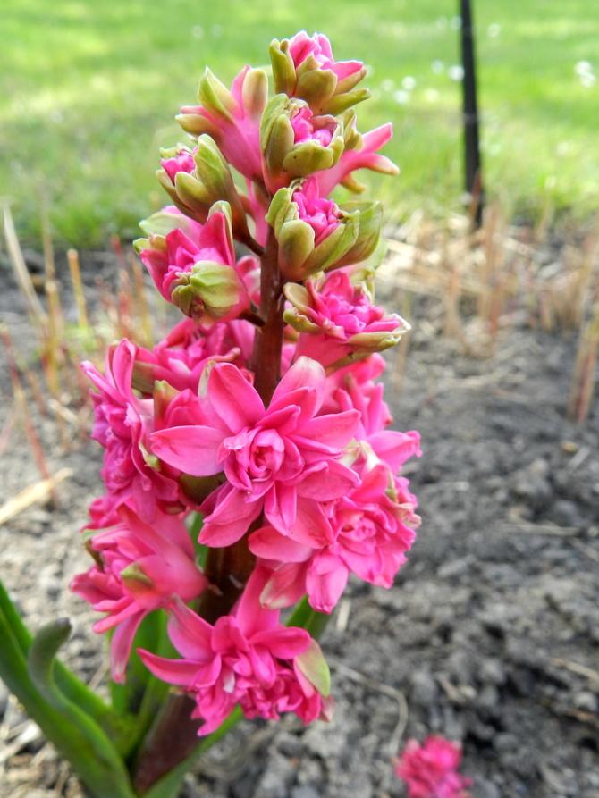 Hiacynt pełny różowy