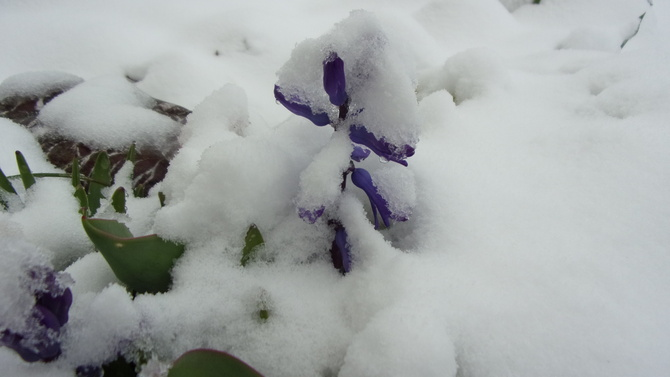 Hiacynt w pod.....śnieżu.