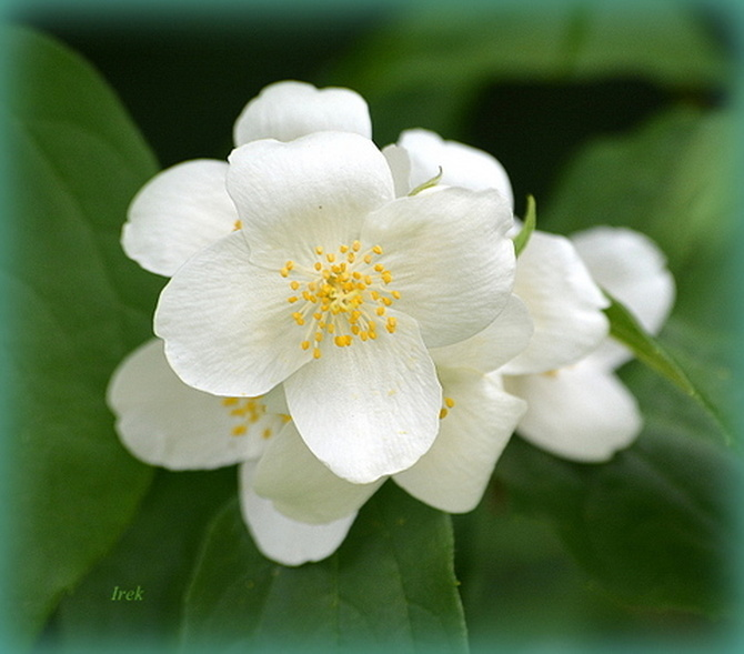 Kwiat jaśminowca
