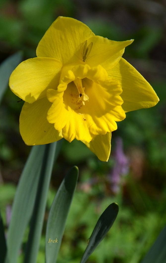 kwiat żółty