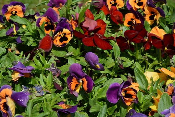kwiatki bratki