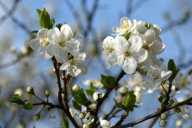 Kwiaty mirabelki z bliska