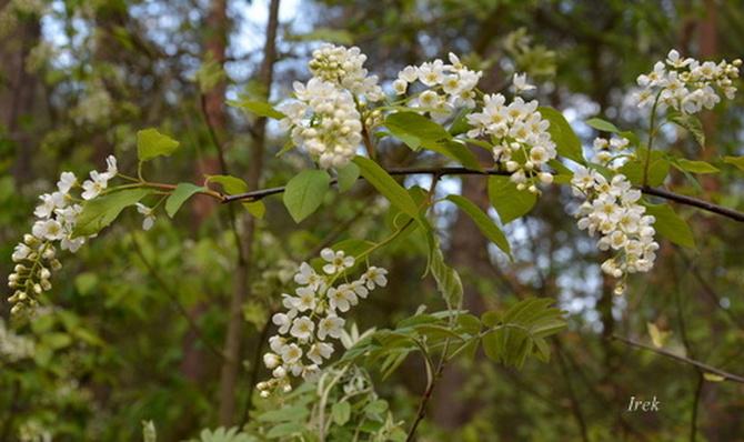 Czeremcha kwitnąca w lesie.