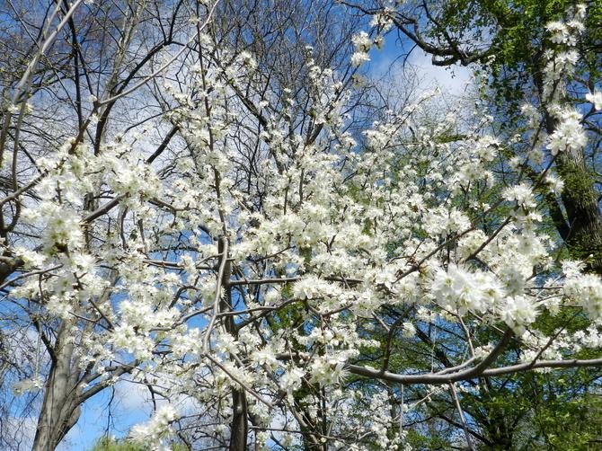 Kwitną drzewa owocowe