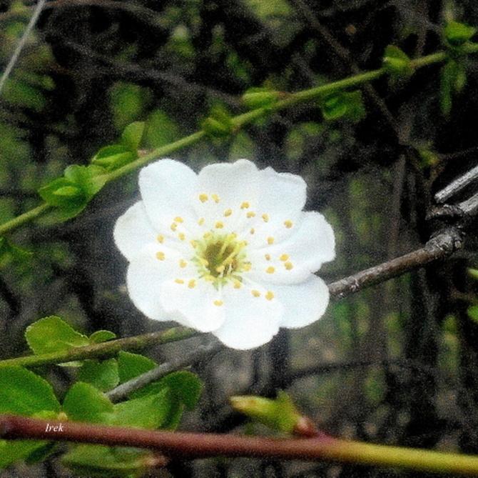 Kwitną krzewy