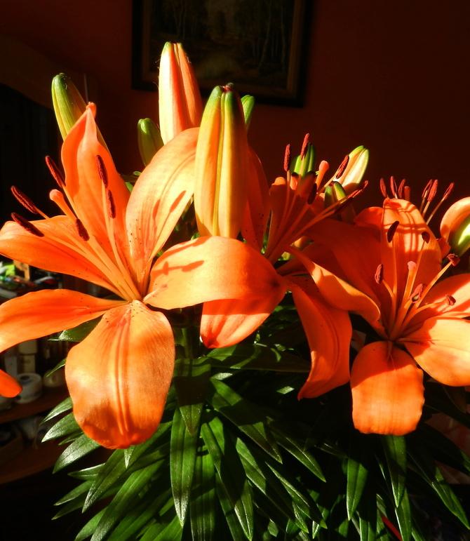 Lilia azjatycka pomarańczowa