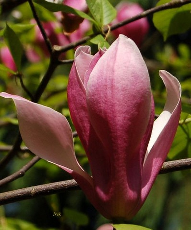 Magnolia, kwiat