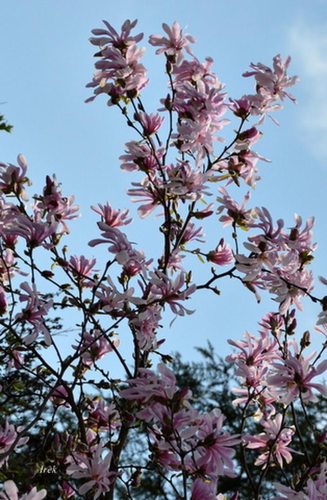Magnolia na terenie przedszkola