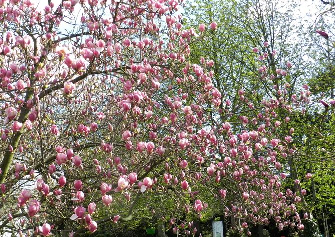 Magnolia ukwiecona