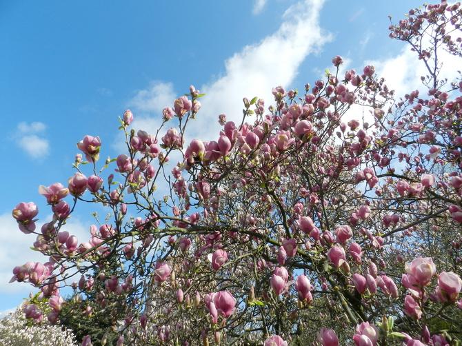 Magnolie kwitną