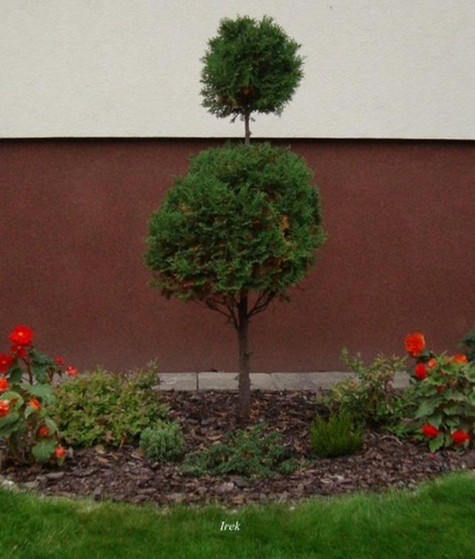 Śmieszne drzewko