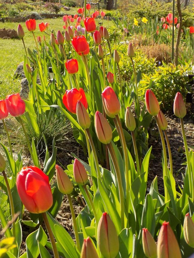 Moim tulipanom już czerwono :)