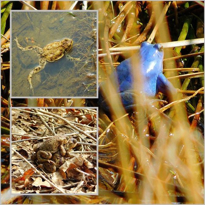 niebieska żaba ???