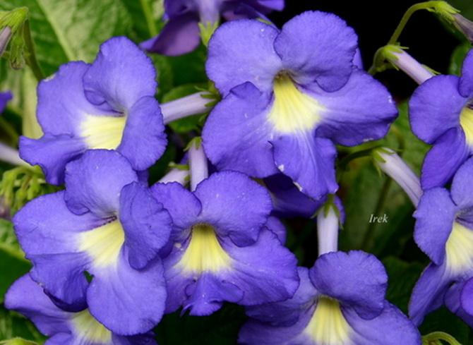 Niebieskie kwiaty w OB