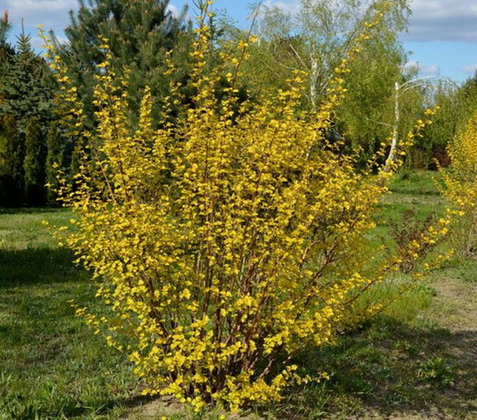 żółty krzew