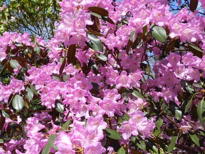 Różaneczniki  ,niezwykłe krzewy