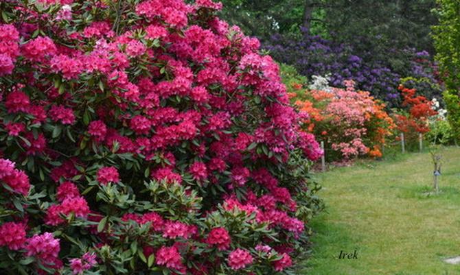Rododendrony w OB