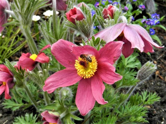 Sasanki i pszczółka
