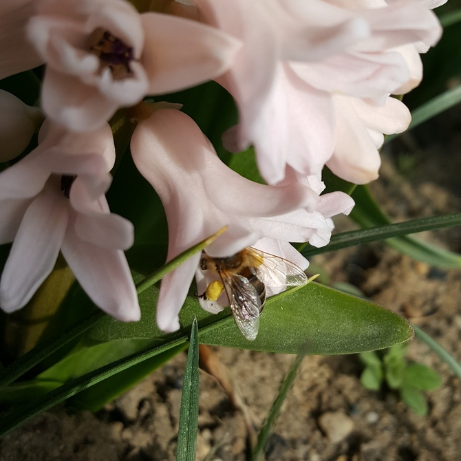 Sporo pyłku nazbierała...