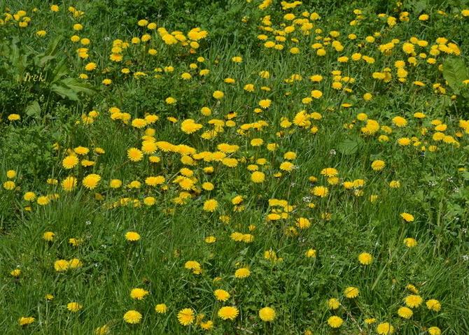 Trawnik z mleczem zwyczajnym
