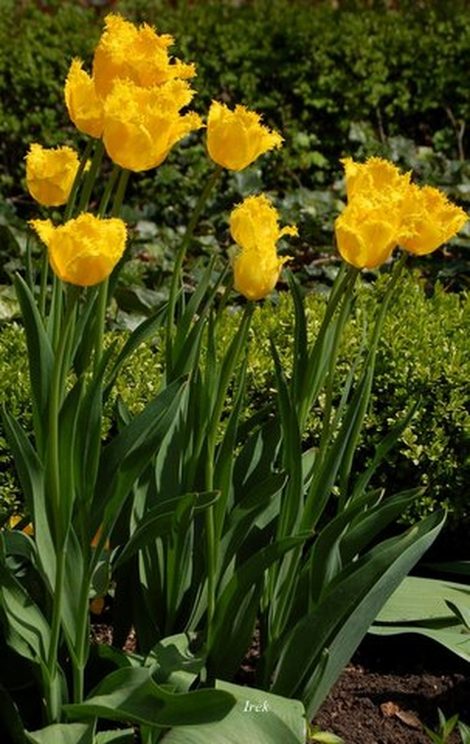 Tulipany majowe