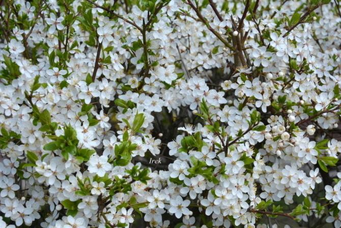 Żywopłot kwitnący