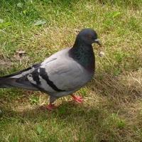 9 IV  Światowy Dzień Gołębia