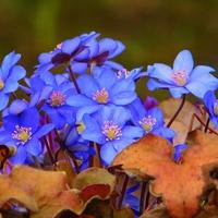 błękity ogrodowe