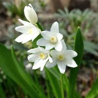 Biała kwitnie od paru dni, z paseczkiem się ociąga