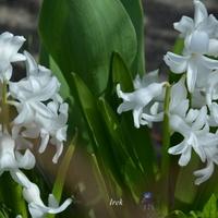 Białe hiacynty