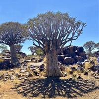 Drzewo kokerboom