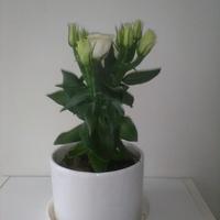 Eustoma – kwiat do bukietów