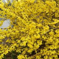 Forsycja, zwiastun wiosny