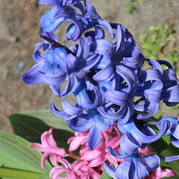 Hiacynt niebieski