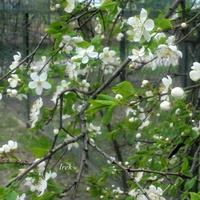 Inne krzewy kwitną na biało.