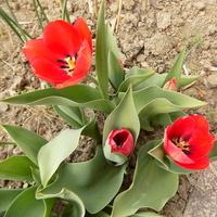 Kolejne tulipany :)