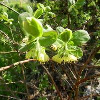Kwiaty jagody kamczackiej