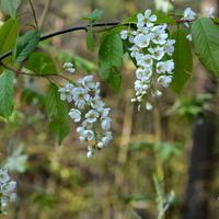 Kwitnąca czeremcha w lesie