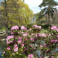 Kwitną różaneczniki