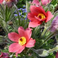 Kwitną sasanki