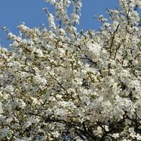 Kwitnie mirabelka, fragment