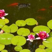 lilie wodne, rybki i żółw