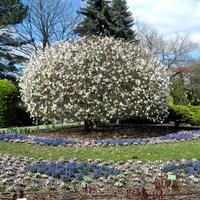 Magnolia w Ogrodzie Botanicznym