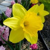 Narcyz trąbkowy żółty